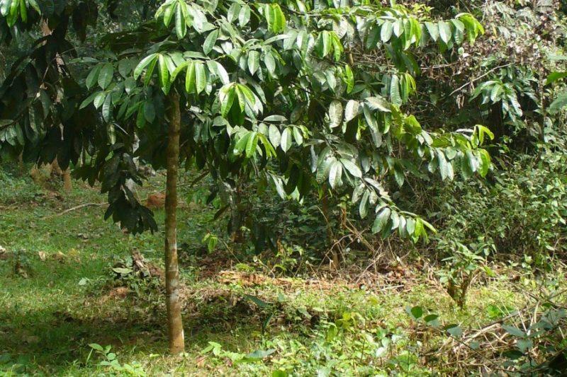 Allanblackia-Ghana-Agroforestry-5-year_Rutger-de-Wolf-2-e1457605909787