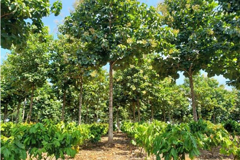 agroforestry-plantations-with-a-mixture-of-teak-and-cacao